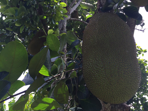 big jackfruit growing on the tree in south florida