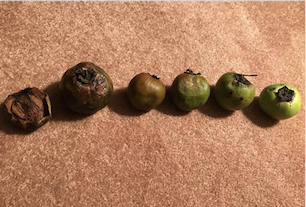 black sapote ripening guide
