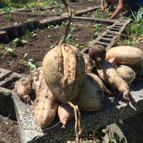 hawaiian purple sweet potato harvest
