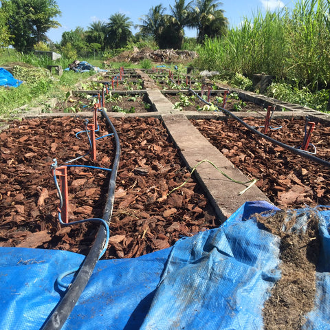hawaiian sweet potato and turmeric irrigation lines