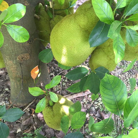jackfruit growing on the tree