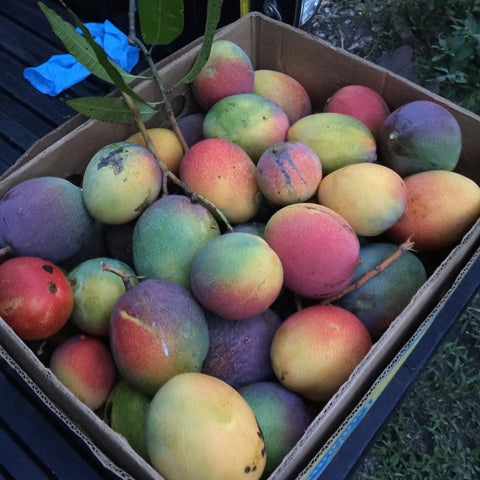 colorful florida mangos for sale online