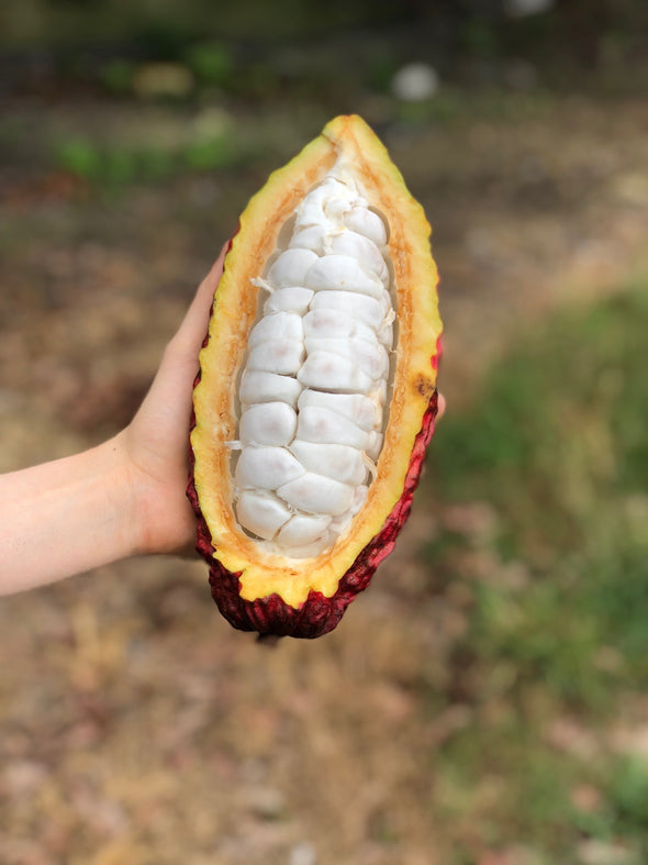 Cacao (Chocolate)