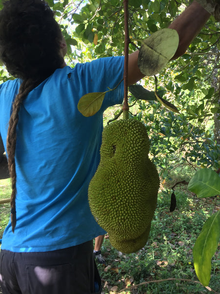 Unripe Green Jackfruit for Cooking
