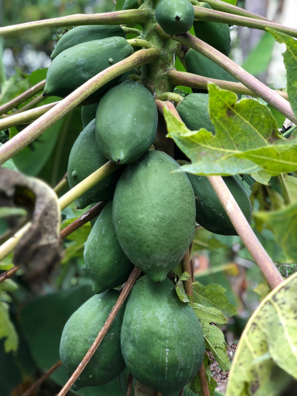 Caribbean Papaya
