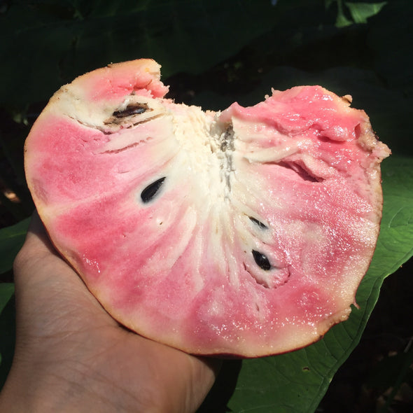 Custard Apple *PRE-ORDER*