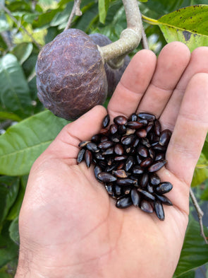 Annona Reticulata Seeds - (Red Custard Apple Seeds)