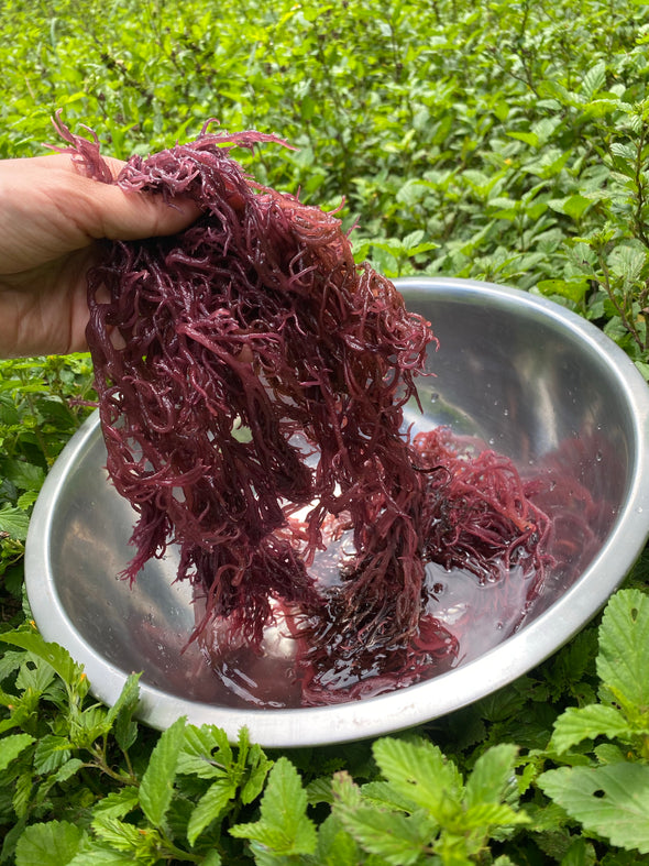 Wild Harvested Purple Sea Moss