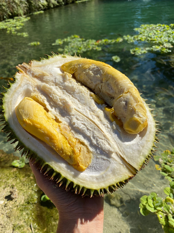 D101 Durian *Limited*