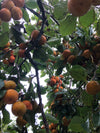 Tropical Persimmon
