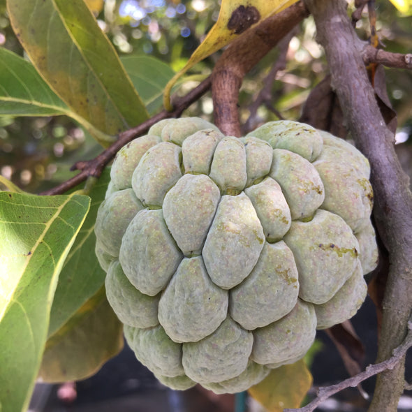 Sugar Apple (Sweetsop)