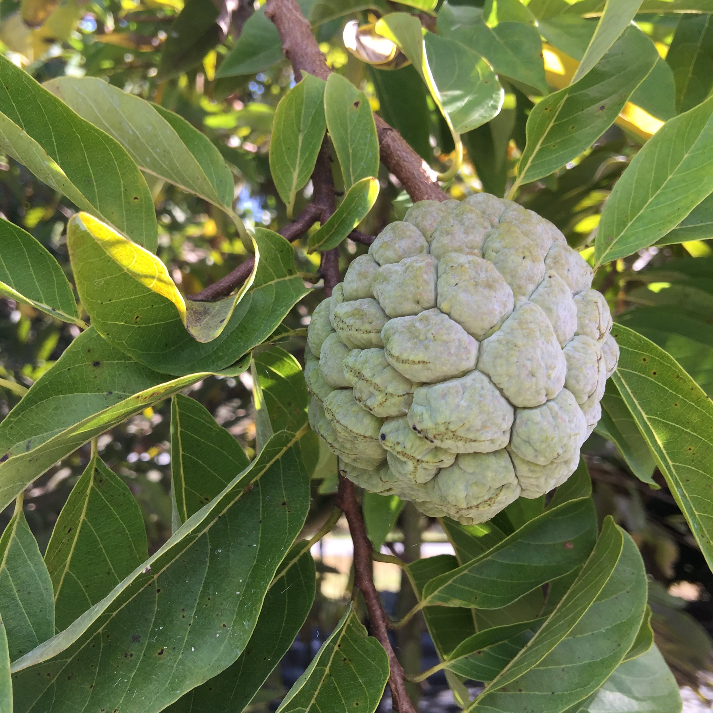 Picture Of A Custard Apple Tree