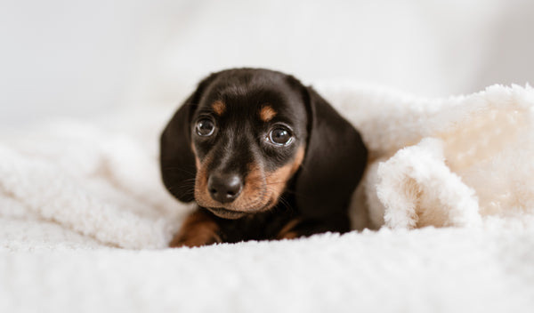 6 Best Dachshund Blogs