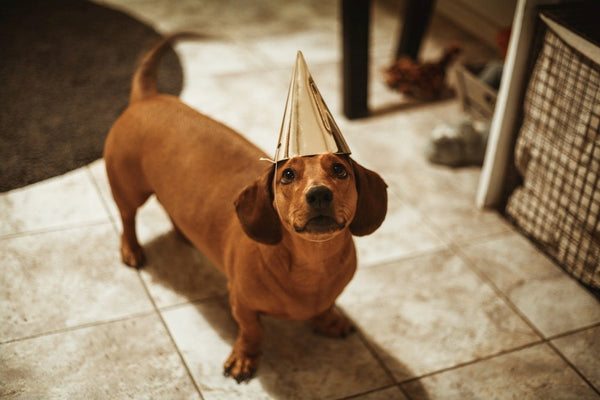 Brown Dachshund with party hat