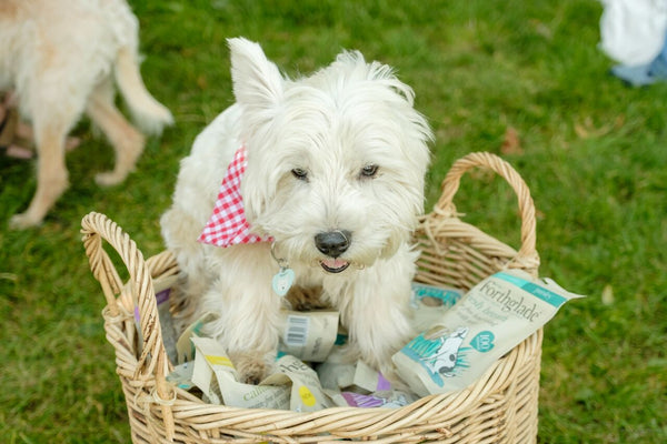 Rupert the West Highland White Terrier from In Your Dog House Gifts