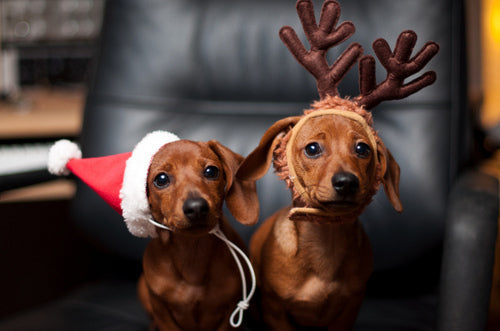 Two Dachshunds wearing Santa hat and reindeer headwear