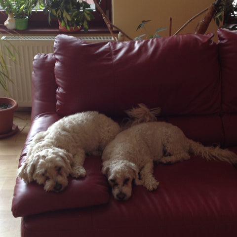 bichons, dogs, dog lover, dog sleeping