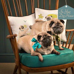 Walter and Florence Pugs on Ercol Chair
