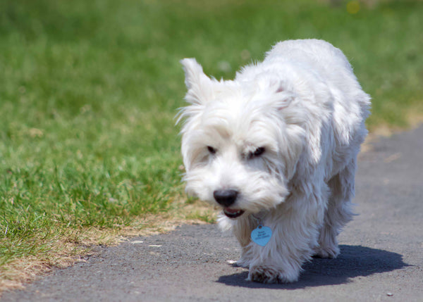 Rupert the westie on the Great Dog Walk Together