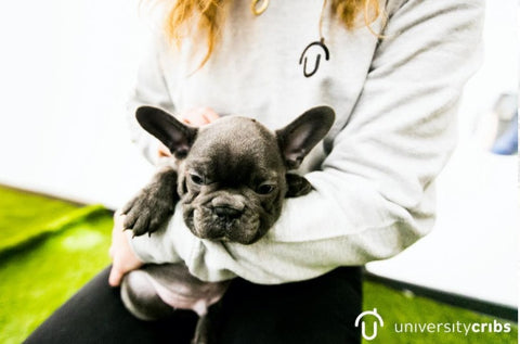 student, French Bulldog puppy, Puppy Petting Day, Stress Relief