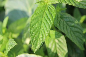 spearmint peppermint  leaf