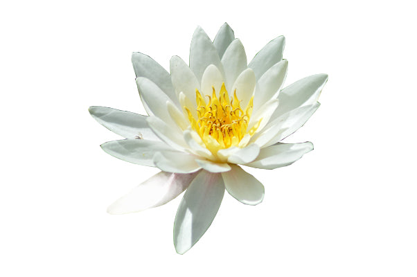 Water Lilly Extract