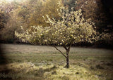 Apple Tree Art Photograph -Tuscan Style Home Decor