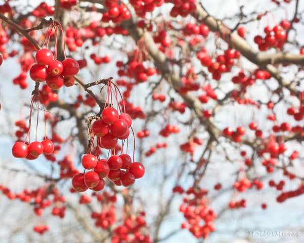 Red and Light Blue Choking Cherry Tree Photograph, Home Decor Wall Art Print, Cherry Tree, Red Cherries, Ethereal Art,  Commercial Art