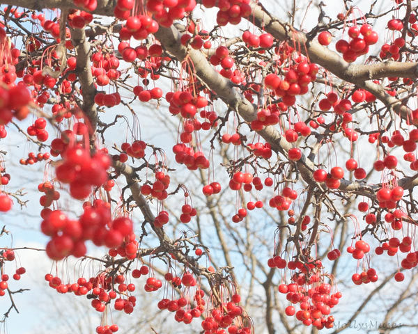 Red Choke Cherry Tree Photograph,  Fine Art Photography, Choking Cherries, Bright Red Blue Home Decor, Large Wall Print,  Ethereal Art,