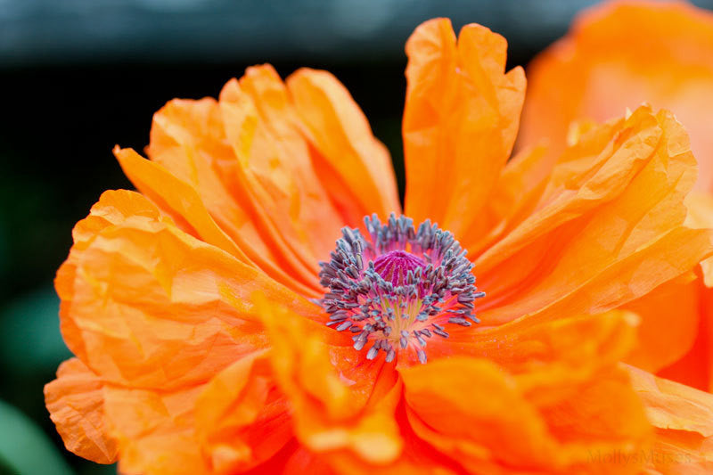 Orange Poppy Art Photograph - Vibrant Floral Home Wall Print