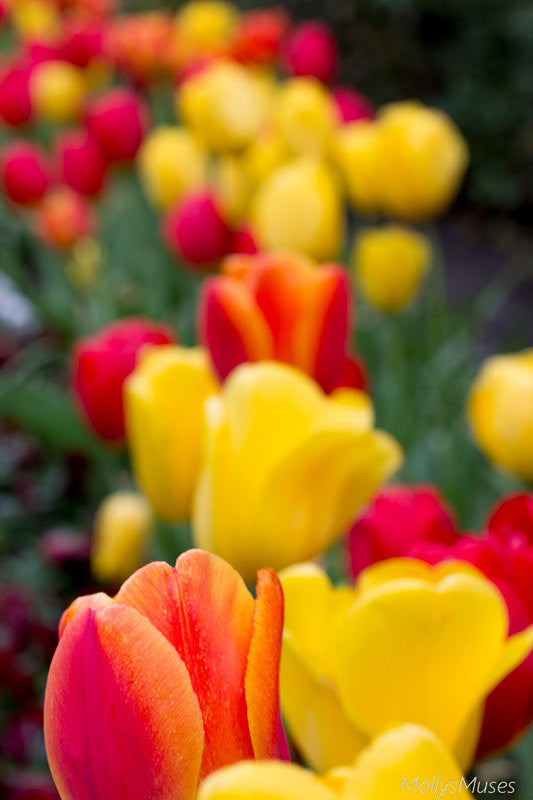 Tulip Photography - Nature Art Photo - Bright Flowers Red Yellow