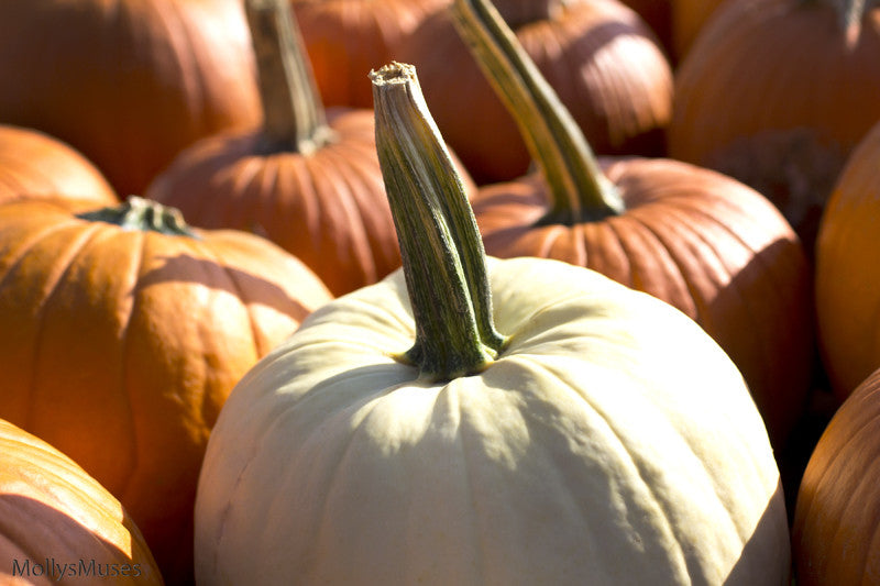 Pumpkin Patch Photography - Autumn Fall Home Decor Art Print