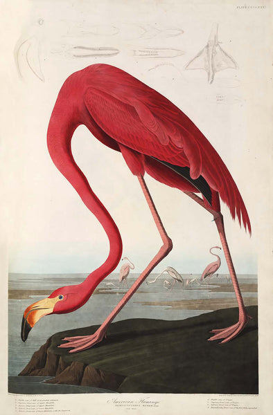 "Print ""American Flamingo"" by Audubon. Antiquariaat de Vries & de Vries."