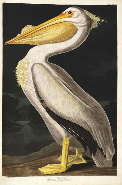 "Print ""American White Pelican"" by Audubon. Antiquariaat de Vries & de Vries."