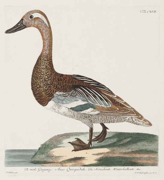 "Antique print ""The male Garganey""."