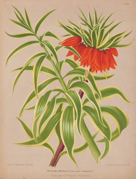 "Antique print ""Fritilaria Imperialis (Imperial Fritillary)"". Chromolithograph by G. Severeyns after A.H. Arendsen: from 'Album van Eeden, Haarlems Flora'."