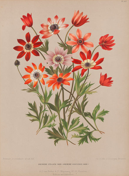 "Antique print ""Anemone Stellata"". Chromolithograph by G. Severeyns after A.H. Arendsen: from 'Album van Eeden, Haarlems Flora'."