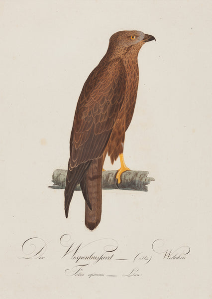 Antieke prent. Antique print. Title: Der Wespenbussard (altes) Weibchen - Falco Apivorus. (Female) Contemporary handcoloured engraving fom Susemihl's 'Teutsche Ornithologie oder Naturgeschichte aller Vögel Teutschlands', published between 1800 and 1817. Der Wespen Bussard (Honey Buzzard)  birds, birdprint, falco, bussard, buzzard, engraving, antique print