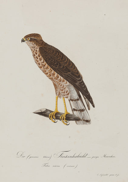 Antieke prent. Antique print. Contemporary handcoloured engraving fom Susemihl's 'Teutsche Ornithologie oder Naturgeschichte aller Vögel Teutschlands' , published between 1800 and 1817. Finkenhabicht ( Falco Nisus) birds, sparrow, hawk, falco, birdprint, antique print