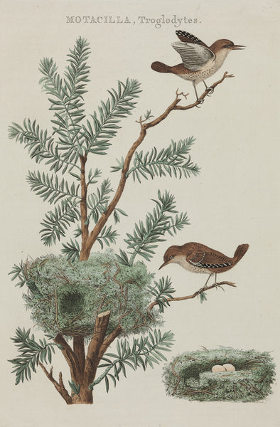 Antique print. Title: Motacilla Troglodytes, contemporary handcoloured engraving from 'Nederlandsche Vogelen' by Cornelius Nozemann and Christiaan Sepp, Amsterdam 1770.