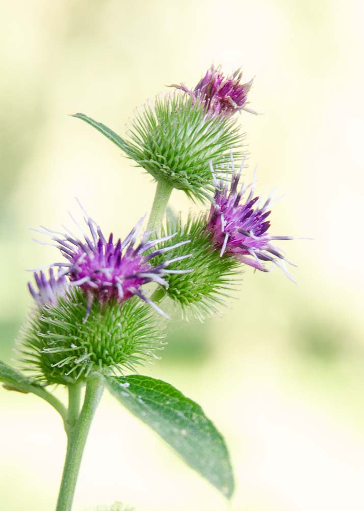 A photo greeting card - Burdock flowers.