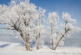 Hoar Frost on Trees