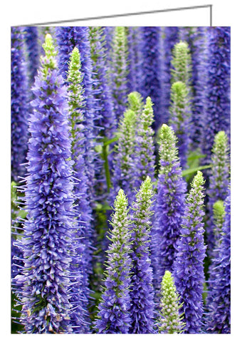 A garden bed of Veronica Hocus Pocus showing purple spiked blooms.