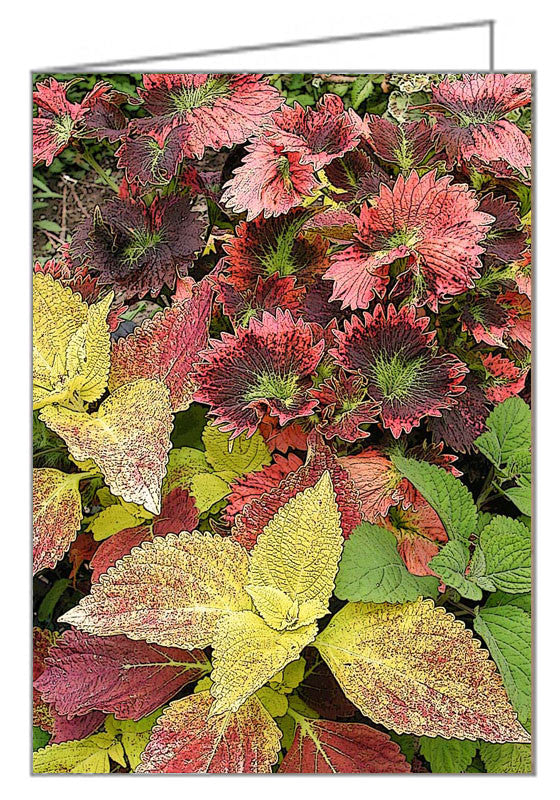 Coleus Container Display - mixed coleus displayed in a planter. Post processed.