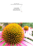 Greeting card showing a close-up of a Purple Cone Flower, Echinacea purpurea.