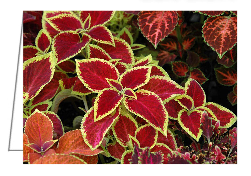 Greeting Card - A collection of colorful Coleus. A variety of different Coleus plants arranged for sale in a nursery greenhouse.