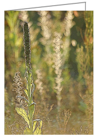 A photo greeting card of a backlit mullein in a meadow.