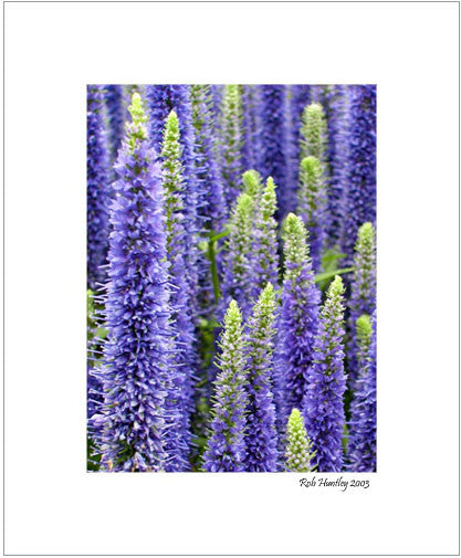 Matted Print - A garden bed of Veronica 'Hocus Pocus' showing purple spiked blooms.