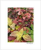 Coleus Container Display - 8x10 Matted Print