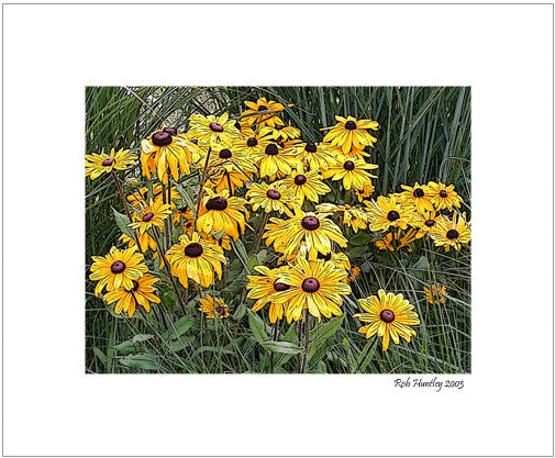 Matted Print - These black-eyed susans, otherwise known as Rudbeckia, were growing in a garden nursery in front of a display of ornamental grasses.